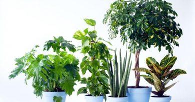 Mannenplanten woonplanten voor de maand juni 06-2017-10